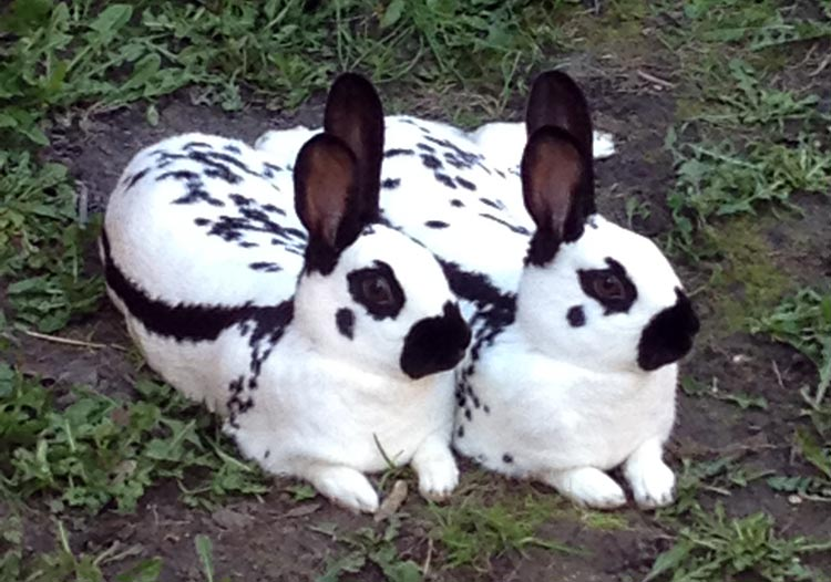 Picture of a Pair of Old English Rabbits