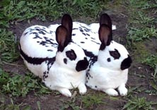 Picture of a pait of old english rabbits